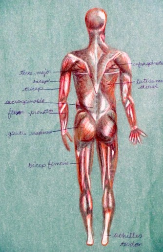 Muscles of the Body - Back