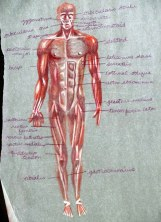 Muscles of the Body - Front