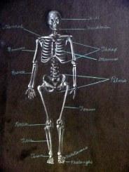 Skeleton Diagram - Front